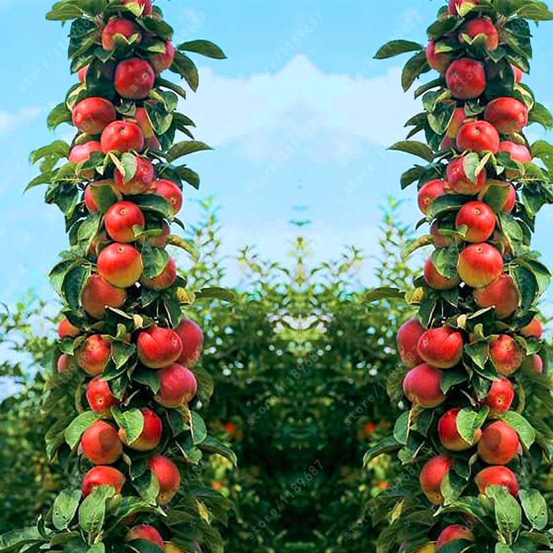 30 pcs Bonsai Apple Tree Seeds rare fruit bonsai tree-- indoor plant for home garden free shipping via hongkong post airmail
