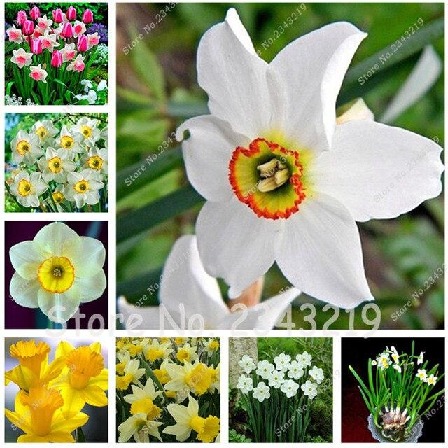 2 pcssac narcisse jonquille ampoules pas jonquille graines bonsa fleur - Fleur Jonquille