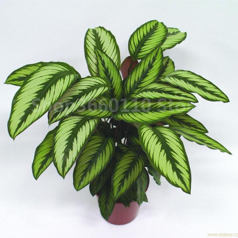 100 PCS Rare Bitki Calathea Bonsai Air Freshening Plants Beautiful Flowers Office Desk For Flower Garden Ornaments