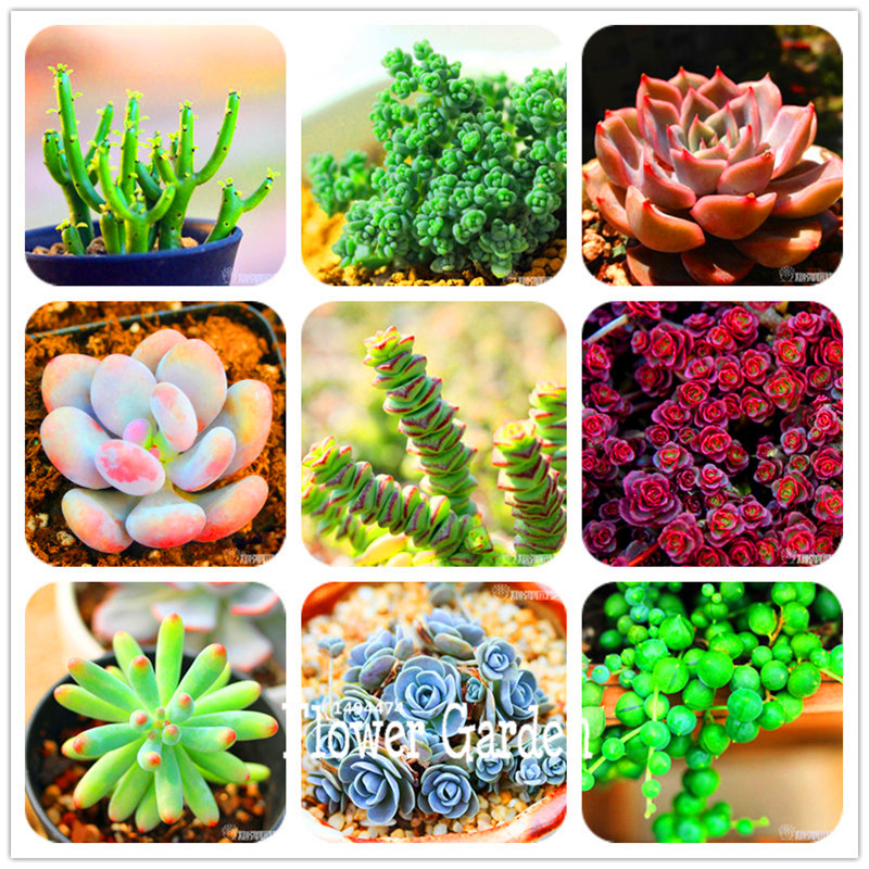 Time-Limit!!99 Kinds Rare Succulents Seeds Lithops Seeds Pseudotruncatella Office Bonsai Plants Flower Seed 100 PCS/Pack,#GZXU9U