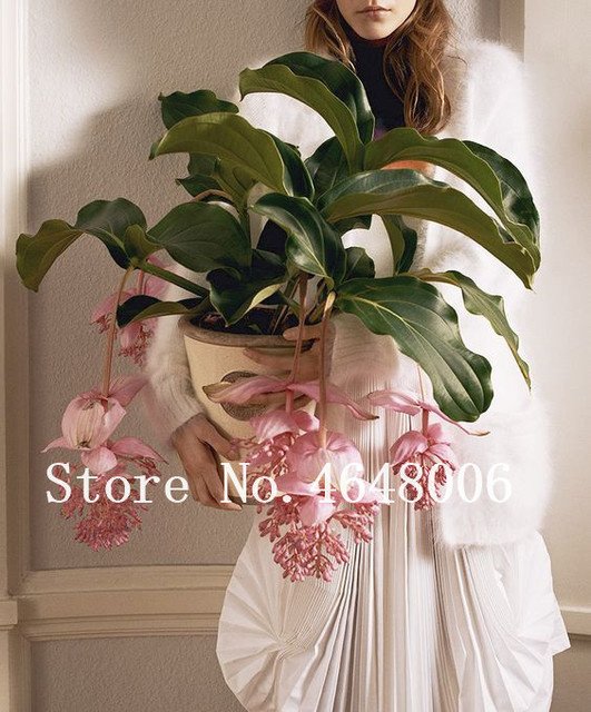 100 Pcs Medinilla Magnifica Bonsai Very Beautiful With Pink Flower Plant For Home Garden Decoration Flower