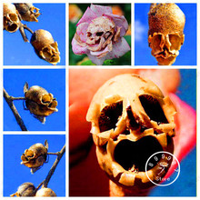 Best-Selling! 100 Seeds/Pack The Death Rose seeds rare and mysterious plant species of snapdragon flower seeds