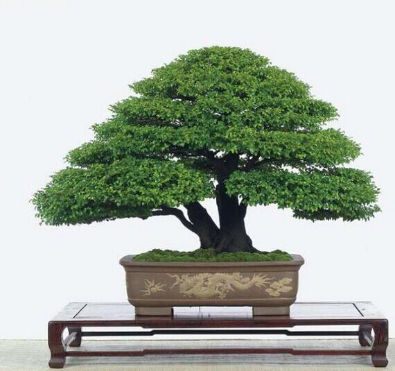 Balcony flowers indoor potted bonsai garden landscape tree pine seed plants absorb formaldehyde - Five indoor plants that absorb humidity ...
