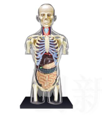 1:6 Transparent Human Torso Human Anatomy Model 4D Bust Male Body Head Musculoskeletal Anatomy Science Model|Medical Science| |  - title=
