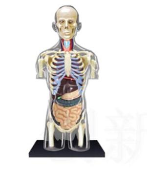 1:6 Transparent Human Torso Human Anatomy Model 4D Bust Male Body Head Musculoskeletal Anatomy Science Model 4d master stem anatomy model gummi bear skeleton anime figure adults kids gifts science animal model