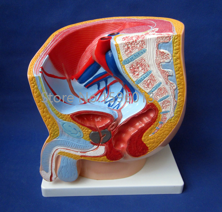 Male pelvis model, Anatomy Median section of male pelvis model sagitally section model about tissue decomposition model for doctor patient communication model with magnetic