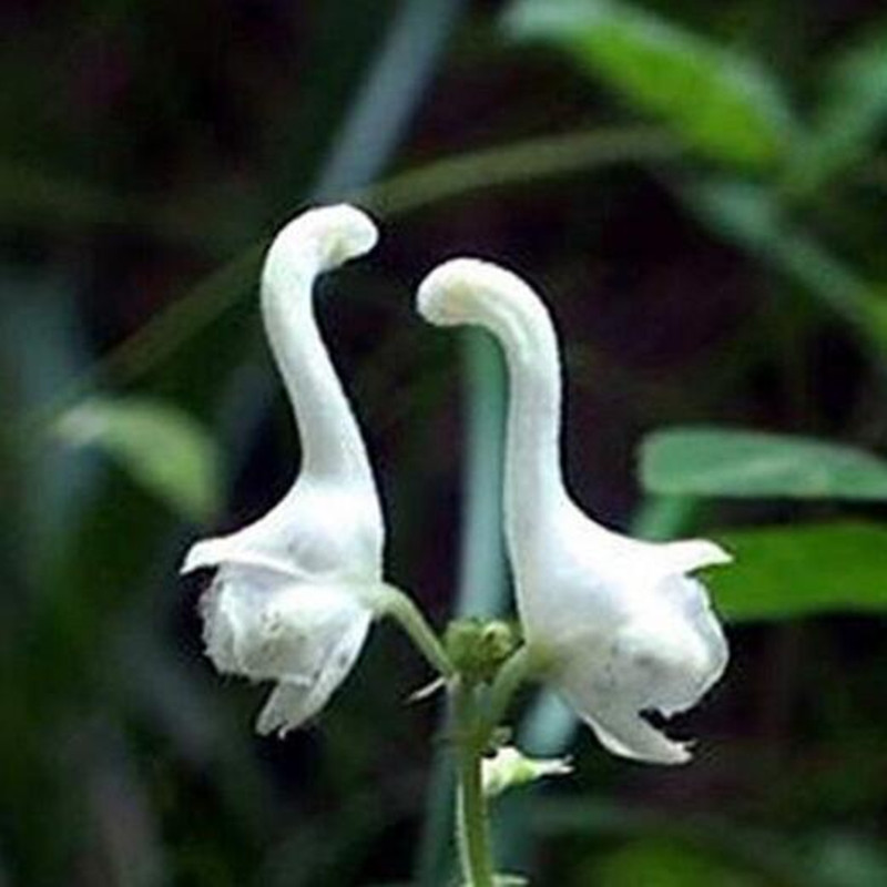Swan flowers seeds chinese characteristics rare flower seeds white swan flowers seeds chinese characteristics rare flower seeds white flowers planting home garden 100 seedspack free shipping in bonsai from home garden on mightylinksfo