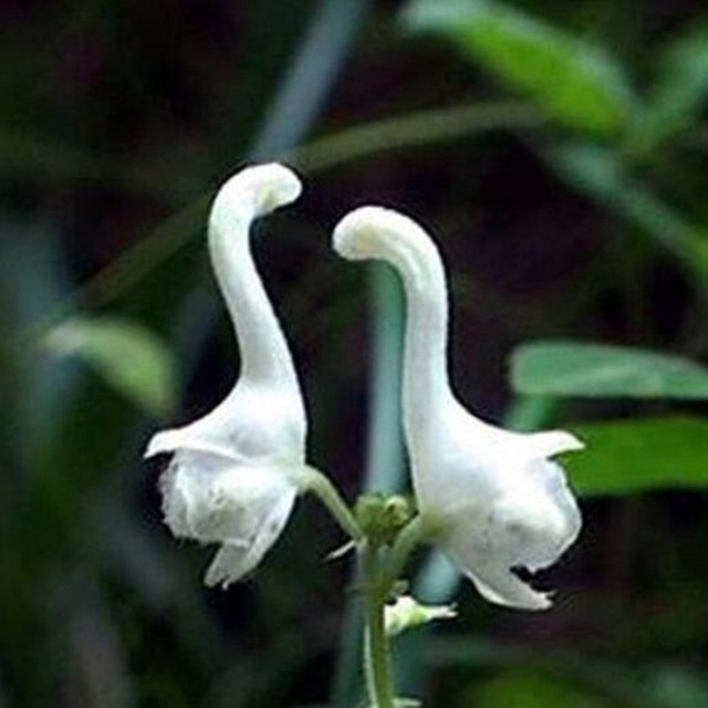 Swan flowers seeds chinese characteristics rare flower seeds white swan flowers seeds chinese characteristics rare flower seeds white flowers planting home garden 100 seeds mightylinksfo
