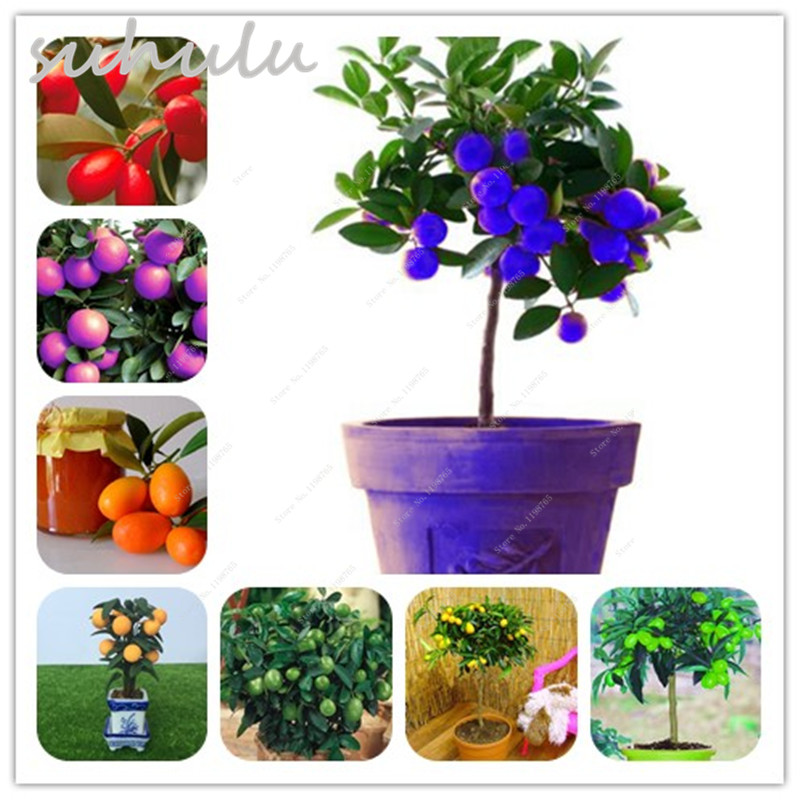 Hot 50 Pcs Kumquat Tree Seed Mini Bonsai Tree Balcony Patio Bonsai Sweet Delicious Fruit Trees,Climbing Orange Tree Seeds No-Gmo