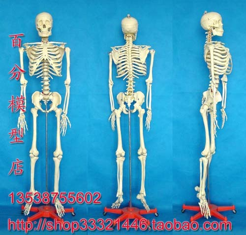 online get cheap skeleton model life size -aliexpress, Skeleton