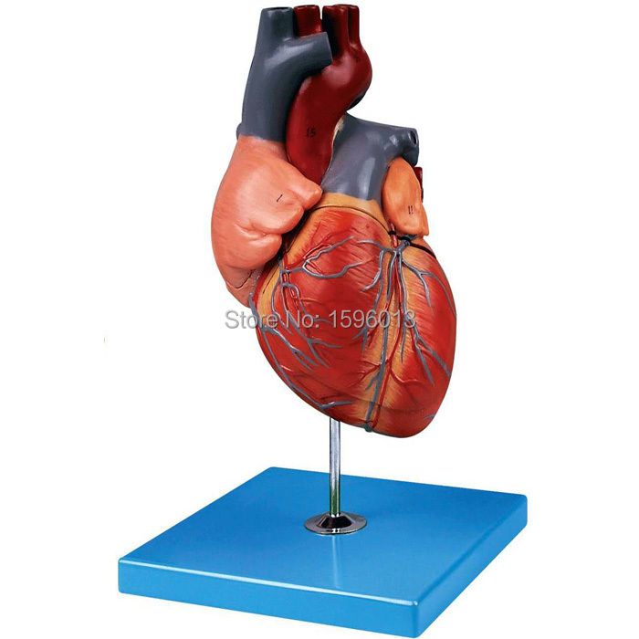 Suurendatud südame anatoomiline mudel, täiskasvanud - Kooli- ja hariduse tarbed - Foto 2