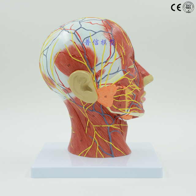 skull with muscle nerve vessel anatomical model, Right head and neck ...