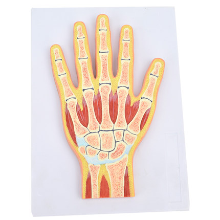 Human hand joint muscle model wrist joint profile hand joint structure Human hand joint muscle model wrist joint profile hand joint structure