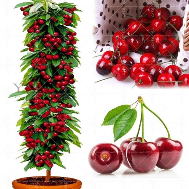 20 قطع بونساي قزم الكرز شجرة جاينت Asilola الكرز الفاكهة أصائص زرع المعمرة Cerasus pseudocerasus الفاكهة المنزل حديقة النبات