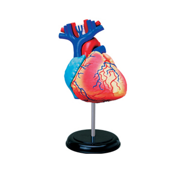 Coloreado corazón ensamblado Anatomía Humana modelo dimensional ...