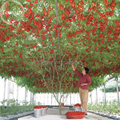 Гигантский фамильные Томатный Дерево, 100 Семена, здоровый вкусный питательный съедобные плоды E3617