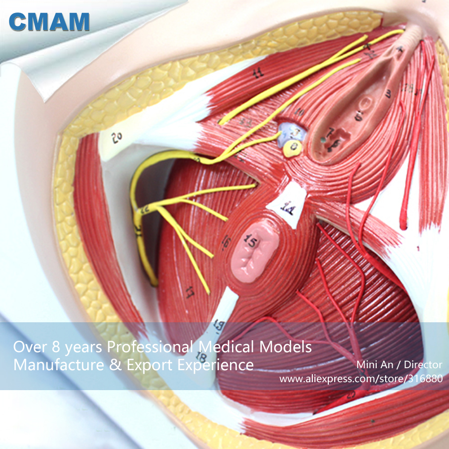12462 CMAM-ANATOMY24 Life Size Anatomy Model Female Perineum on Board , Medical Science Educational Teaching Anatomical Models 12440cmam anatomy02 life size female pelvis section anatomical model 3part anatomy models male female models female models