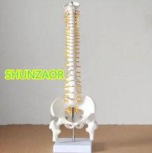 SHUNZAOR Human spine bone skeleton model 45cm sitting posture model Medical Science teaching supplies herniated disc medication