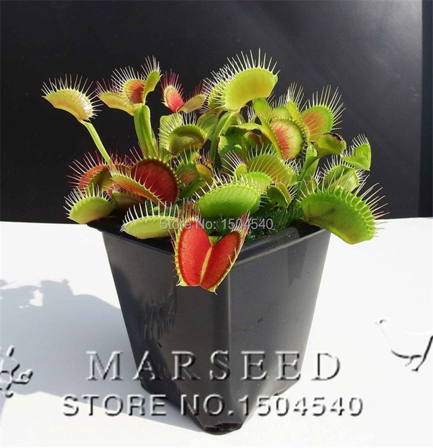 Marseed Wholesale Plant Bonsai 20Pcs/Lot Plant Pot Potted Venus Flytrap Dionaea Muscipula Giant Clip Plants MAS245