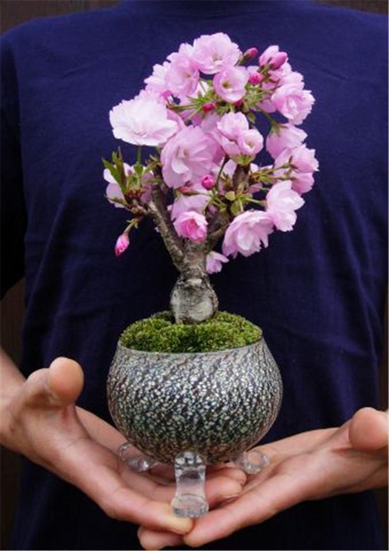 Редкий японский сакура Cherry ня для сада цветок бонсай дерево Комнатные цветы растения легко вырасти 50 шт. цветочные горшки плантаторы