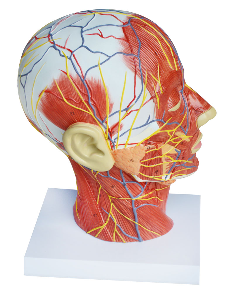 Medical Anatomical Model of Half Head Neck with Vessels-in Medical ...