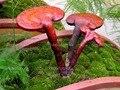 100 шт./пакет Семена Ganoderma Lucidum Линчжи Рейши Грибы Семена Овощных Культур Семена легко выращивать для дома сад