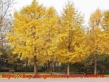 Maidenhair Fossil Tree Gingko Ginkgo Biloba Bonsai Seeds, Professional Pack, 5 Seeds / Pack, Yellow Ornamental Leaves