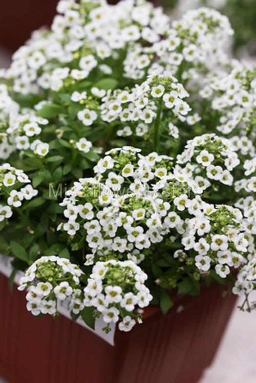 Снежок цветы фото