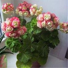 Sale! 50 pcs 24 Color Dwarf Geranium Seed Bonsai Fresh Flower Seeds Pelargonium Peltatum Seeds DIY Home Garden Kid Love Gift