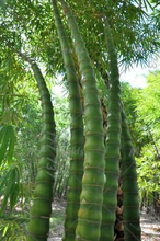 40pcs / bag Buddha Belly Bamboo Rare Perennial Ornamental Plant DIY Garden Decorative Potted