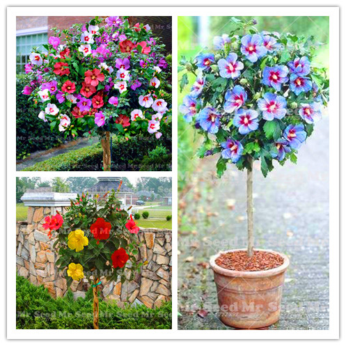 Buy Hibiscus Tree And Get Free Shipping On Aliexpresscom