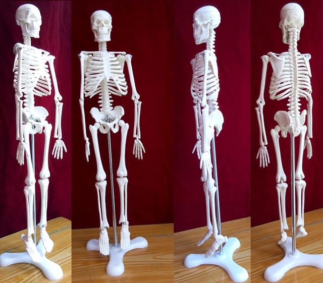 45 cm esqueleto humano modelo médico torso anatomía esqueleto dental ...