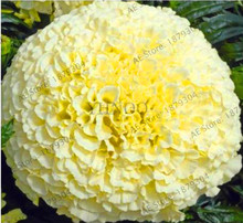 Buy white marigold flower and get free shipping on aliexpress new fresh bellfarm 100pcs big white vanilla african marigold bonsai home garden decor flower plant flores mightylinksfo