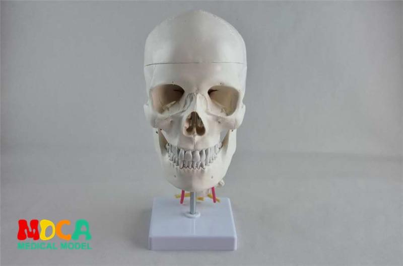 Craniofacial skull model with human. skull and skull model in Department of orthopedics MTG008 цена