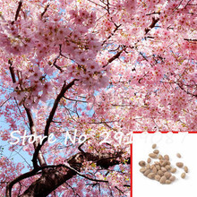 Giant Anese Pink Cherry Blossom Sakura Tree 5 Seeds Oriental Sweet Prunus Flower For Home Garden Planting