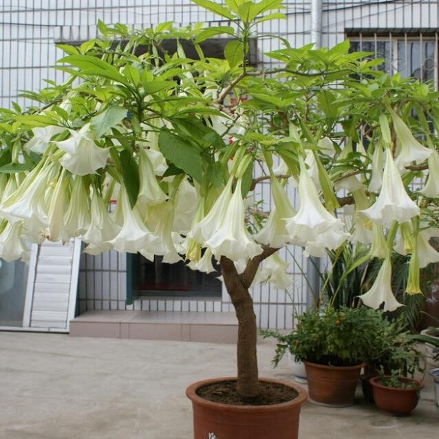Bonsai tree mandala seeds, mixed color flower home garden rare flower tree seeds - 100 particles