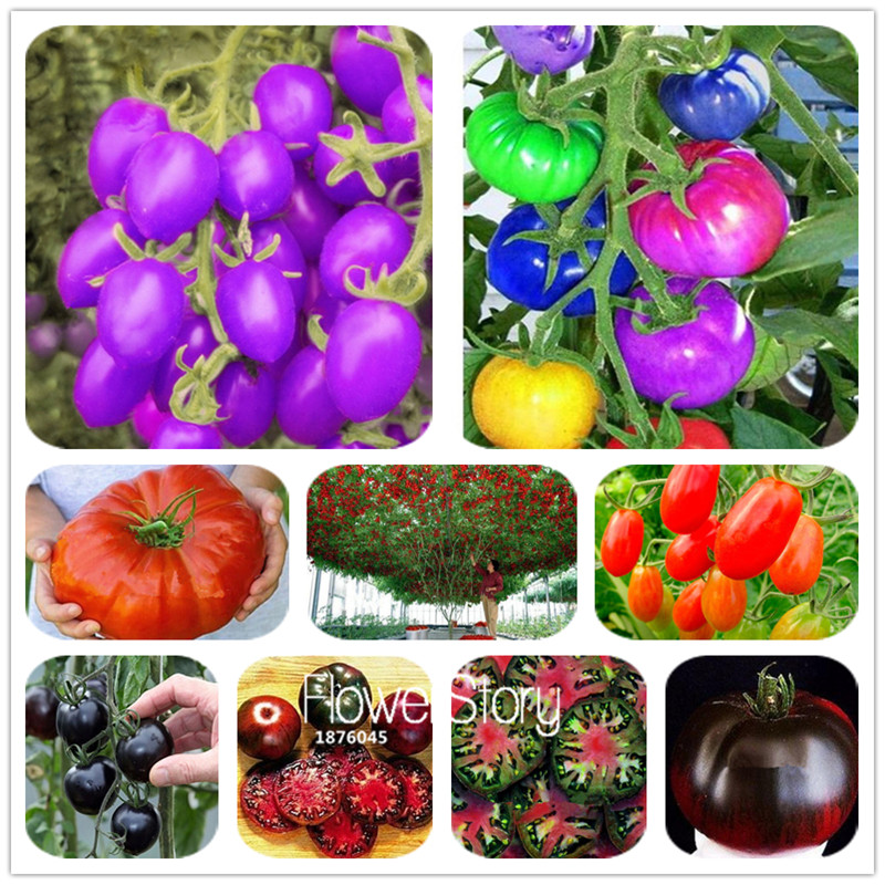 Big Promotion! 20 PCS Rainbow Tomato Garden  Bonsai Organic Vegetable & Fruit SeedsPlants Potted Plant For Home &garden