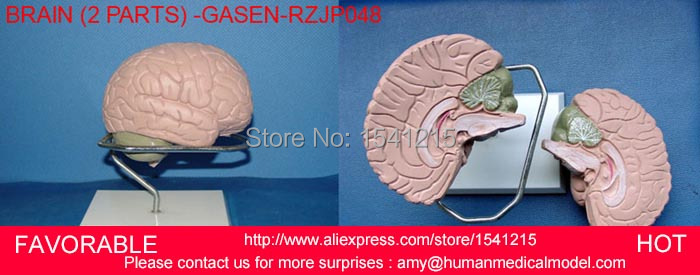 MEDICAL MODEL,HUMAN BRAIN MODEL,ANATOMY MODELS,BRAIN ANATOMICAL MODEL,MEDICAL ANATOMICAL TORSO GASEN-RZJP048 human larynx model advanced anatomical larynx model