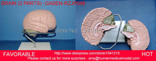 MEDICAL MODEL,HUMAN BRAIN MODEL,ANATOMY MODELS,BRAIN ANATOMICAL MODEL,MEDICAL ANATOMICAL TORSO GASEN-RZJP048