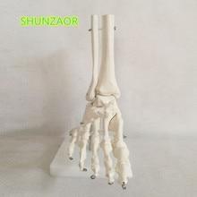ขนาด 1:1 ขนาดชีวิตมนุษย์เท้าขวา Joint Anatomical Model ข้อเท้ามือและเท้าศัลยกรรมรุ่น