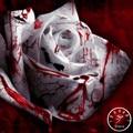 Sale!150 PCS/Lot Rarest White Blood Rose Plant Flower bonsai Garden Asaka Rare True Blood Rose flores,#MOSRCN