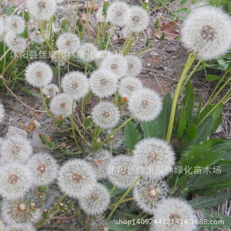 Pissenlit fleur plante herbe plante pissenlit fleur mère Ding Hua Lang plante comestible beauté 200 g/paquet