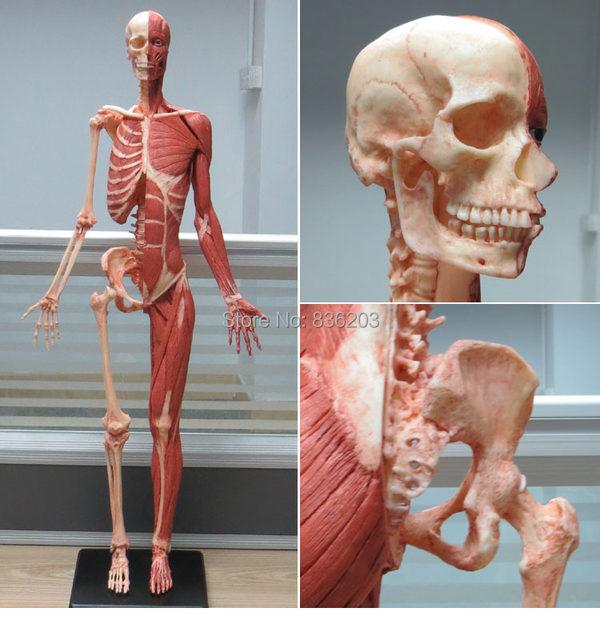 Tienda Online 60 cm humano resina carne color cráneo esqueleto ...