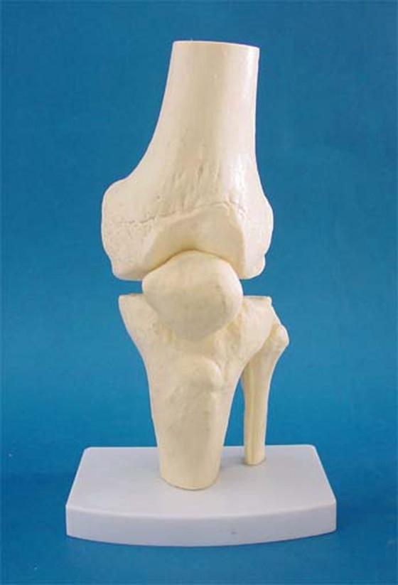 1:1 Humans Skeleton Model Knee Anatomical Model Adult Knee Joint Skeletal Model Medical Teaching Supply Medical School Equipment1:1 Humans Skeleton Model Knee Anatomical Model Adult Knee Joint Skeletal Model Medical Teaching Supply Medical School Equipment