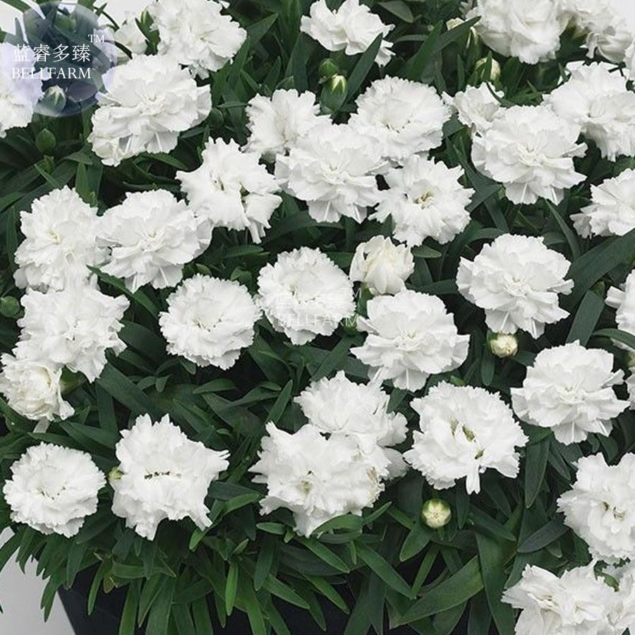 BELLFARM Bonsai Dianthus \'White Cosmos\' Pinks Perennial Flower home ...