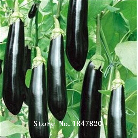 100pcs Purple Eggplant Seeds vegetable seeds free Shipping