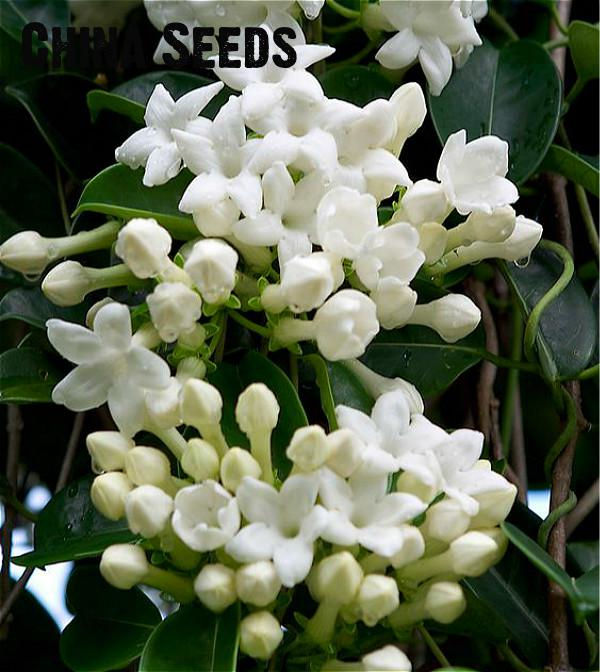 100pcs   Lot White Jasmines plants Sweet Soul Jasmine flower plants     100pcs   Lot White Jasmines plants Sweet Soul Jasmine flower plants Bonsai  Plants Semente Flor Home   Garden Flowers 49  SALE in Bonsai from Home    Garden