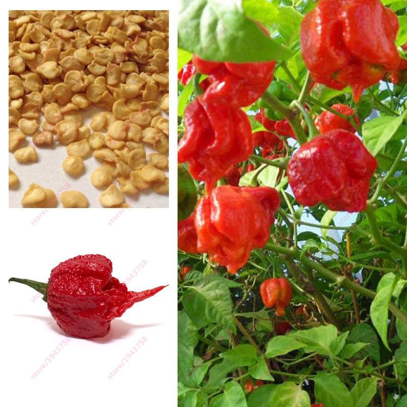 200 stücke Carolina Reaper Pfeffer samen-Capsicum Chinense-die - Gartenzubehör