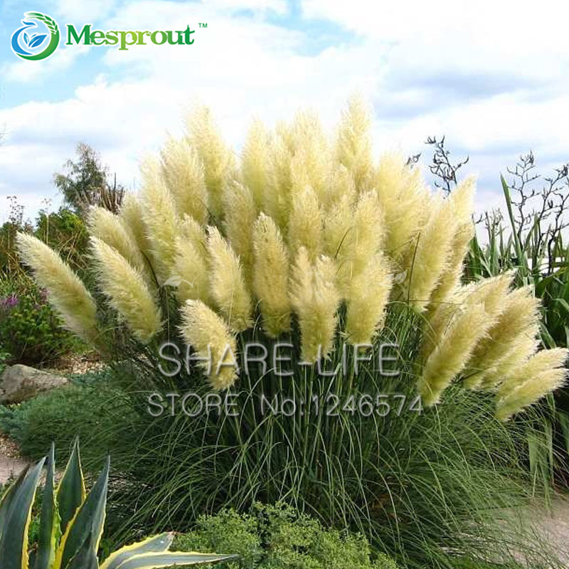 500pcs pampas grass seed patio and garden potted ornamental plants 500pcs pampas grass seed patio and garden potted ornamental plants new flowers pink yellow white purple cortaderia grass seed in bonsai from home garden mightylinksfo