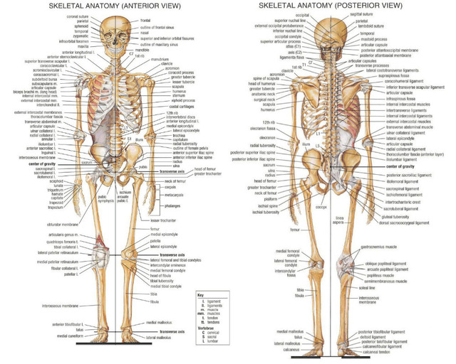 0081 24x20 Human Body Skeletal System Poster Leaning Teacher